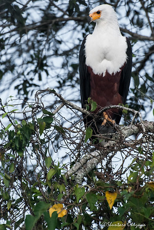 With Purpose and Pride: African Fish Eagle